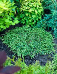 Kääpiökataja Green Carpet - Viherpeukalot