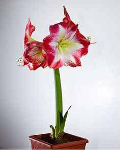 OMG: The PERFECT flower to grow indoors this holiday season! #Amaryllis #BeInTheKnow #gardening #IndoorGardening