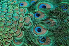 "According to some random blogger: ""Did you know that the luminous, brilliant colors of the peacock feather do not come entirely from the chemical pigments, but rather from the structure of the feather itself"""