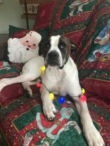 American Bulldog Dog For Adoption In Stony Brook New York Moose