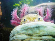 Mexican Walking Fish--Axolotl