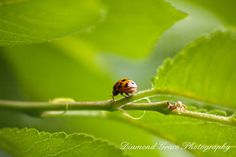 The Journey  A Ladybug wandering on a leaf  8 x 12 by DiamondGrace,
