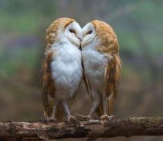 A collection of owl pictures and items that I like! Animals And Pets, Baby Animals, Funny Animals, Cute Animals, Animals Kissing, Unique Animals, Beautiful Owl, Animals Beautiful, Pretty Birds