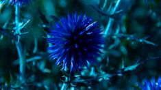 chardon hd wallpapers with high resolution 4k Hd, Flower Photos, Cool Wallpaper, Trees To Plant, Dandelion, Flora, Nature, Herbs, Cool Stuff
