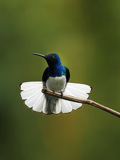 What a beatiful Dress has this hummingbird! Its Open tail looks like a 'White Skirt' Gorgeous White-necked Jacobin Hummingbird. All Birds, Little Birds, Love Birds, Pretty Birds, Beautiful Birds, Animals Beautiful, Beautiful Pictures, Exotic Birds, Colorful Birds