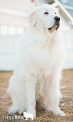 Dog Clothes Golden Retriever A Beginners Guide to Great Pyrenees.Dog Clothes Golden Retriever A Beginners Guide to Great Pyrenees Pyrenees Puppies, Great Pyrenees Dog, Dogs And Puppies, Doggies, Puppies Tips, Corgi Puppies, Chihuahua, I Love Dogs, Cute Dogs
