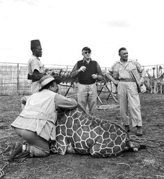 Director John Ford, Clark Gable and Philip Stainton, who is kneeling next to giraffe behind the scenes of Mogambo (1953)