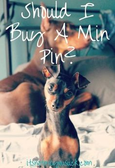 Should I Buy a Min Pin? // It's Not You, It's Me