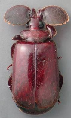 flanged bombardier beetle - in the subfamily paussinae