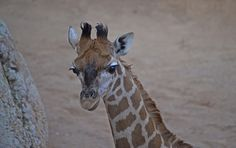 BIOPARC Valencia's 'baby New Year', a female Rothschild Giraffe, has been given a name. Fans of the Spanish zoo voted via social media, and the winning name is…Lluna (moon in Valencian)! Check out ZooBorns to learn more and see more! http://www.zooborns.com/zooborns/2016/02/new-moon-at-bioparc-valencia.html