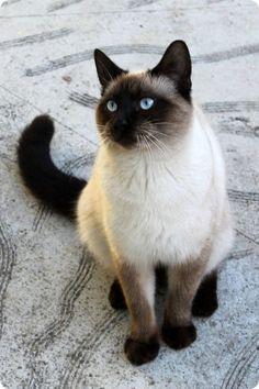 beau chat siamois yeux bleus                                                                                                                                                                                 Plus