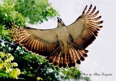 Philippine Eagle | Philippine Eagle Pictures and Wallpapers