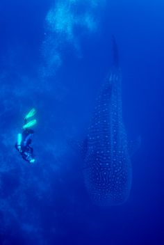 Majestic Diving Photography that will Give You Scuba Thirst Scuba diving with a whale shark
