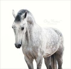 Orlov trotter stallion Smersh. By: Николаева Олеся - Orlov Trotter
