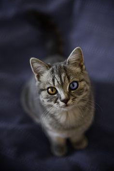 Odd-eyed tabby - very unusual
