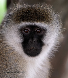 African Black faced monkey
