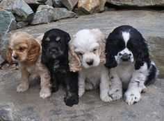 Adorable set of four cocker spaniel puppies in different color variations. The last black and white one looks like spencer! Puppies And Kitties, Cute Puppies, Cute Dogs, American Cocker Spaniel, Cocker Spaniel Puppies, Cocker Dog, Beautiful Dogs, Animals Beautiful, Baby Animals