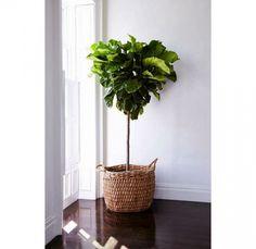 Trendy plantje: de Tabaksplant