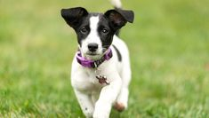 Jack Russell Terrier Puppies: Pictures And Facts A Old Jack Russell Terrier Puppy running towards the camera. Baby Puppies, Cute Puppies, Cute Dogs, Dogs And Puppies, Maltese Puppies, Chihuahua Dogs, Jack Russell Terriers, Terrier Puppies, Terrier Mix