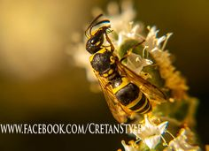 Wasp on wild Cretan Oregano...