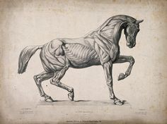 """Anatomy Drawing John Richard Young: """"The One-Sided Horse: Riders Make More One-Sided Horses Than Nature Does"""" Anatomy Sketches, Anatomy Drawing, Anatomy Art, Anatomy Bones, Drawing Art, Horse Anatomy, Animal Anatomy, Horse Sculpture, Animal Sculptures"""