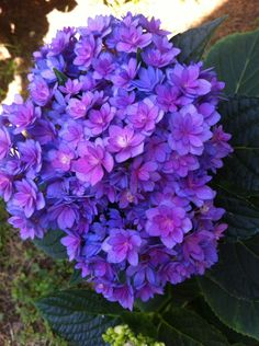Photo of Hydrangea (Hydrangea macrophylla Forever & Ever® Together ) uploaded by clintbrown