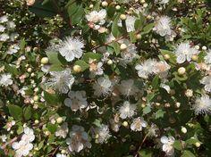 L' essenza del mirto, usata in molte fragranze, immerge in un delizioso aroma boschivo. www.profumissimaonline.com