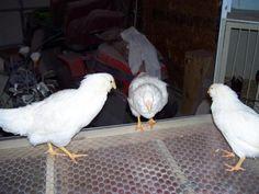 http://www.backyardchickens.com/forum/uploads/15765_white_orloffs_012.jpg