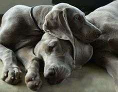 I'll just wait till you wake up. ❤️ Weimaraner breed Reminds me of Chuck & Regal Blue Weimaraner, Weimaraner Puppies, Cute Puppies, Cute Dogs, Dogs And Puppies, Doggies, Rottweiler, Pit Bull, Baby Animals