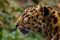 Amur Leopard by Tygrik