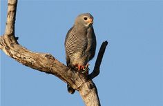 Lizard Buzzard (Kaupifalco monogrammicus) South Luangwa National Park, Zambia. Photo by Nick Dean1 on Flickr