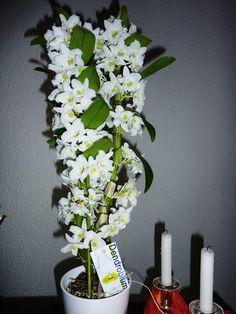 Dendrobium nobile fehér-ilyenem van,imádom,gyönyörű növény