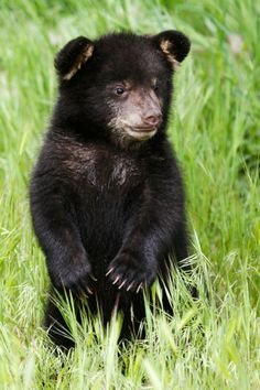 Black Bear Cubs   black bear cub photo courtesy of the utah division of wildlife ...