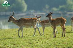 Tout à droite un faon de cerf, derrière lui des daims, tous tachetés mais à ne pas confondre ! Parc de Sainte-Croix
