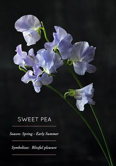 Flower Glossary: Sweet Pea Name: Sweet Pea (Lathyrus odoratus) Growing details: Sweet Pea seeds should be planted in late fall (October-November) in order to bloom in. Sweet Pea Flowers, Beautiful Flowers, Planting Bulbs, Planting Flowers, Sweet Pea Seeds, Flower Meanings, Flower Names, Language Of Flowers, Large Plants