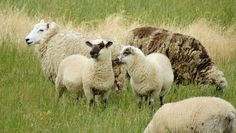 Dozens of Sheep Mysteriously Appeared and Disappeared on the Isle of Wight
