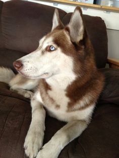 Beautiful Siberian Husky Myshka is available for adoption in Florida from our… Cute Husky Puppies, Husky Puppy, Rescue Dogs, Animal Rescue, Animal Adoption, Adoption In Florida, Blue Eyed Dog, Red Husky, Snow Dogs