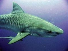 These awesome creatures are among the most endangered sharks. Sought out for their stripes, they are fished for their fins, which are cut off and the bleeding, dying shark discarded. True cruelty.