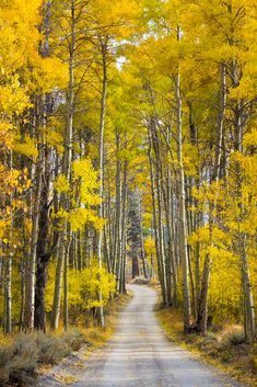 Golden Aspen Road I am always drawn to roads and paths. They call to me to explore and see what is around the bend - just out of sight. Autumn Scenes, Forest Road, Country Landscaping, Nature Pictures, Amazing Nature, Aspen, Mother Nature, Countryside, Paths