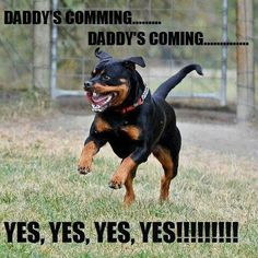 The Loyal Rottweiler Puppy Grooming Rottweiler Love, Rottweiler Puppies, Rottweiler Quotes, Rottweiler Pictures, German Rottweiler, Big Dogs, I Love Dogs, Cute Dogs, Funny Dogs