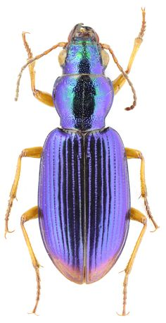 Subfamily Broscinae  Hope, 1838 - Carabidae Beetle Insect, Beetle Bug, Insect Art, Beautiful Creatures, Animals Beautiful, The Beetles, Instalation Art, Cool Bugs, Caran D'ache