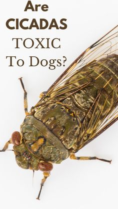Are Cicadas Toxic To Dogs? Pet Nutrition, Animal Nutrition, Pet Poison Hotline, Stink Bugs, Dog Pee, Us Vets, Dog Walking, Safe Food