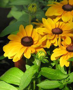 Rudbeckia ~~ tips & ideas for garden ~~ lots of info...