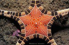 Alor Is. (Timor) - Indonesia. A Sea Star, Iconaster longimanus