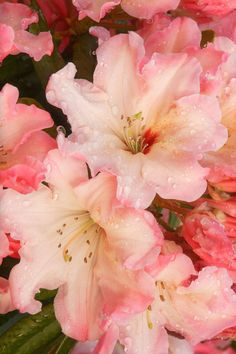 Azalea, adoration, moderation and temperance, and true to the end