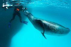 A leopard seal greets underwater cameraman Göran Ehlmé.  Antarctica, Anvers Island. (Paul Nicklen, National Geographic Image Collection)