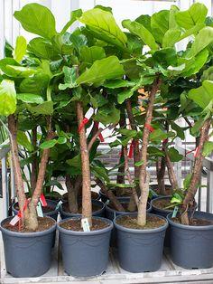 """Deze mooie """"tabaksplant"""" is momenteel weer te bestellen op onze website"""