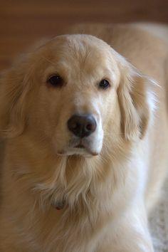 Golden Retriever Training Tips: http://tipsfordogs.info/90dogtrainingtips/