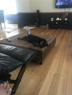 Omg, who taught this pup to sleep on the table #rottweiler