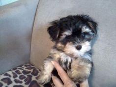 Beautiful Morkie Puppies